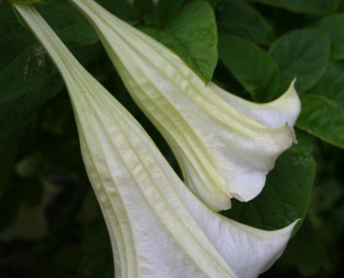 Datura - Fleur des Sorcières